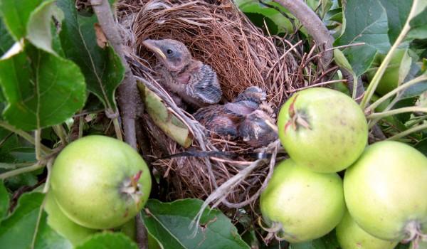 nido sull'albero di mele bio