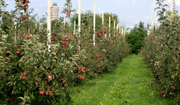 la coltivazione delle mele