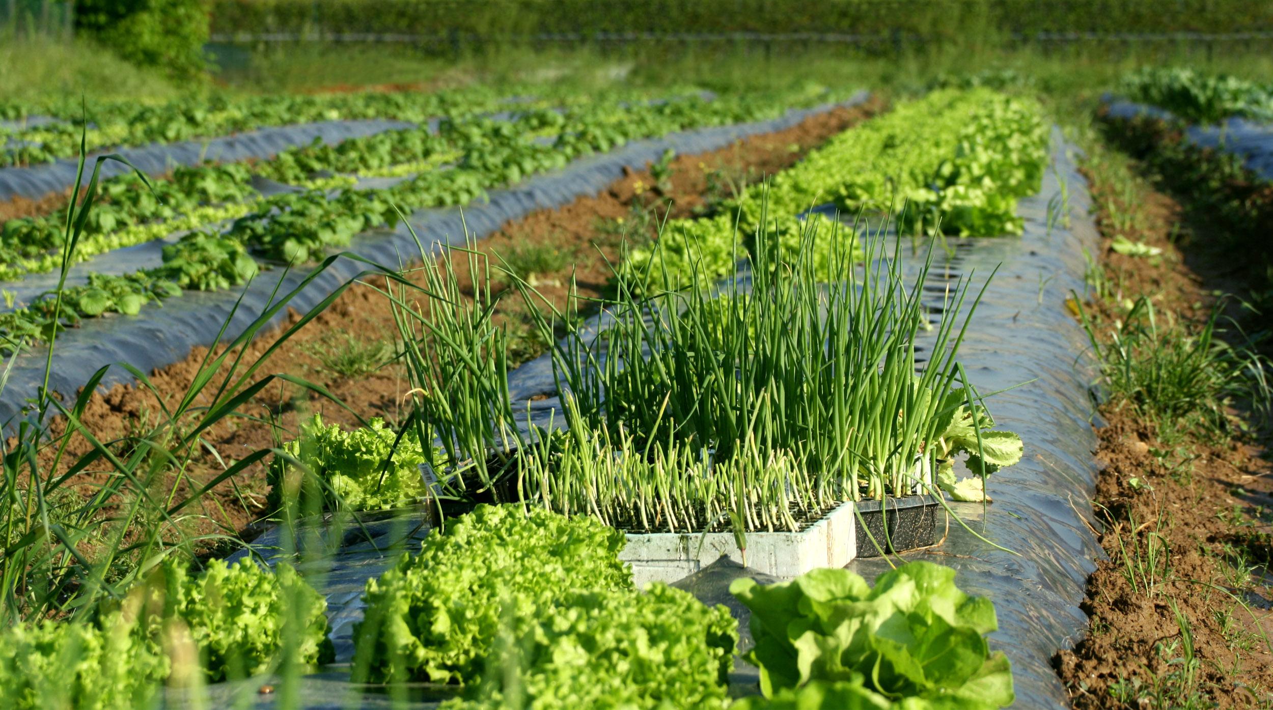 verdura-da-agricoltura-biologica
